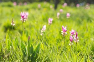 krachai blomma blommar i fältet foto