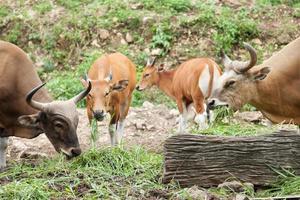 gaurs äter gräs foto