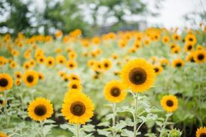 närbild av en blommande solros i ett fält med suddig naturbakgrund