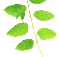 stam med gröna blad