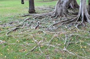 trädrötter i gräs foto
