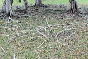 trädrötter på marken foto