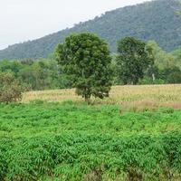 kassava odlingsområden foto