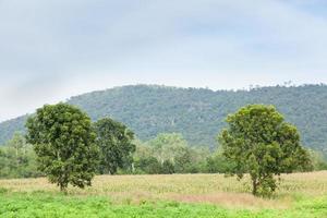 kassava växt i Thailand foto