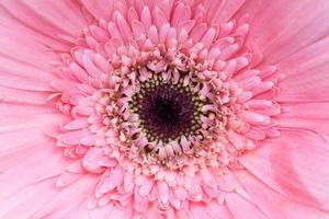 rosa blomma närbild foto