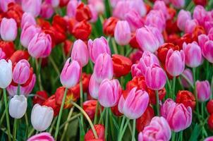 rosa och röda tulpaner
