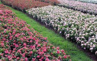 madagaskar periwinkle blommor foto
