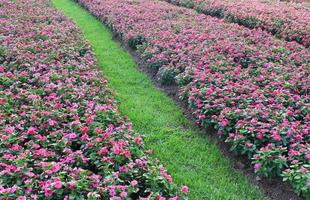 fält av rosa blommor