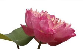 rosa blomma på vitt foto