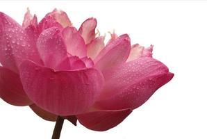 närbild av den rosa blomman på vit foto
