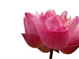rosa blomma med kopia utrymme foto