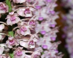 massa lila orkidéblommor