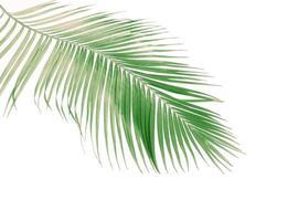 kokosnötblad på vitt foto