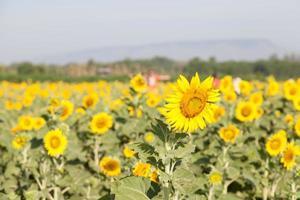 solrosor på ett fält