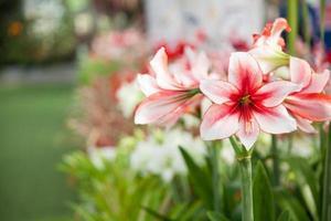 stora röda och vita blommor