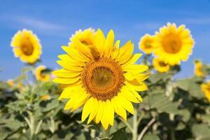 solrosor på ett fält foto