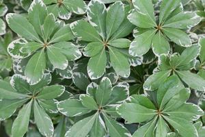 gröna blad med vita ränder foto