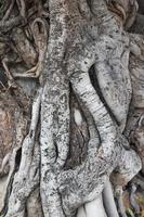 trädets rot foto