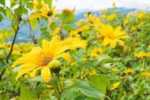 gula blommor i Thailand