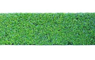 grön häck isolerad foto