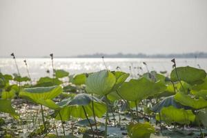 lotusblad och lotusblommor foto