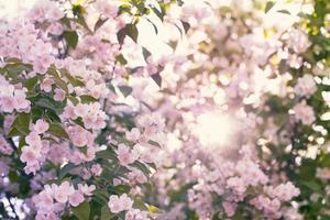 blommande äppelträd foto