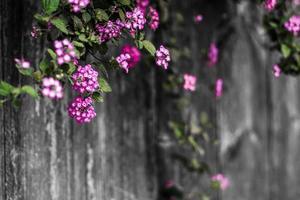 vackra rosa blommor på ett staket foto