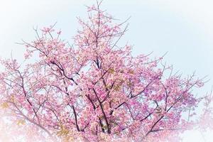 rosa körsbärsblomning