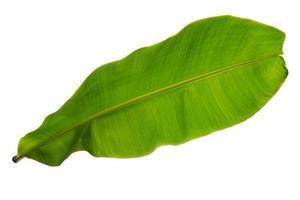 tropiskt grönt blad på vitt foto