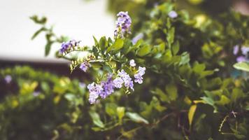 träd med lila blommor foto