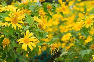 gula blommor i Thailand foto