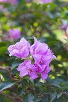 violetta blommor i parken foto