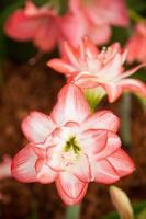 stora vita och röda blommor foto
