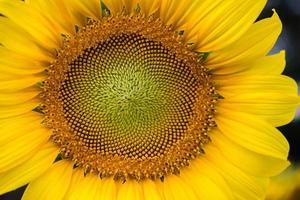 närbild av mitten av en solros foto