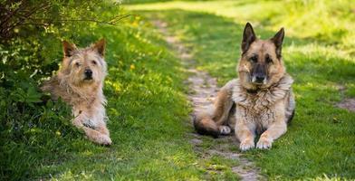 två hundar som tittar på kameran som sitter på väg och gräs