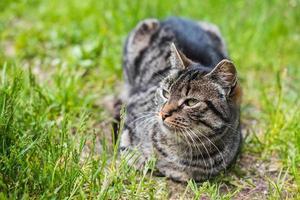porträtt av grå tabby katt i gräs
