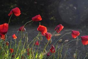 grupp röda blommor i ett fält eller en trädgård foto