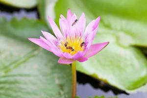 lotusblomma och bin foto