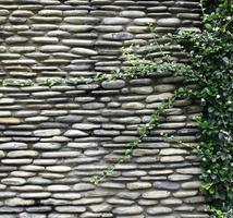 murgröna på stenmur foto