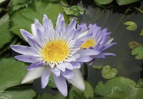 lila och gula lotusblommor