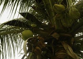 grönt kokosnöt träd