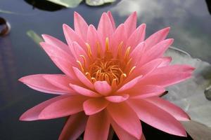 rosa lotusblomma i vatten foto