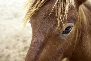 närbild av brun häst foto