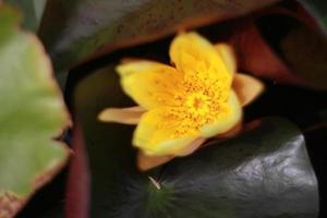 gul näckros i dammen foto