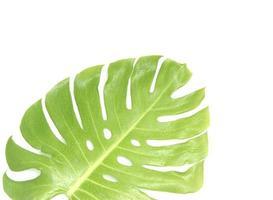 närbild av ett monstera blad med kopia utrymme foto