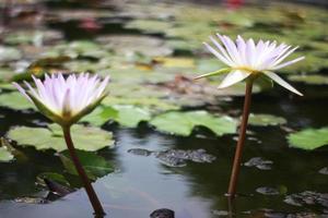 två lotusblommor foto