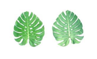 två gröna monstera löv foto