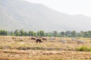 cattles på fältet foto