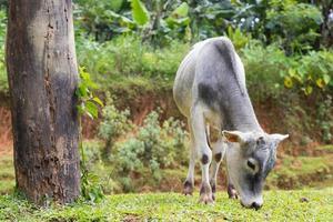 boskap på en kulle