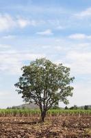 träd på sockerrörsfälten foto